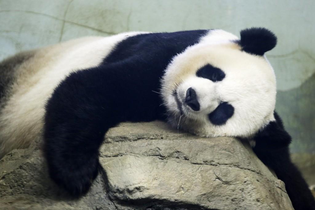 фото малыша панды