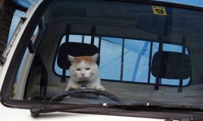 Картинки коты за рулём
